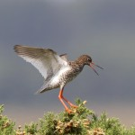 Redshank Netherton 11 July 2013 Richard Somers Cocks