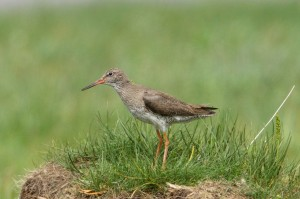 Redshank, Netherton 14 June 2014 (Richard Somers Cocks)