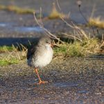 Redshank Portgordon 16 Nov 2017 Martin Cook