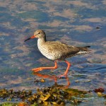 Redshank Portknockie 27 March 2013 Kyle Simpson