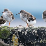 Redshanks, Burghead 13 Oct 2014 (David Main)