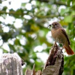 Redstart Tearie 29 May 2014 Alison Ritchie