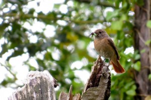 Redstart, Tearie 29 May 2014 (Alison Ritchie)