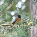 Redstart Tearie 4 June 2014 Martin Cook