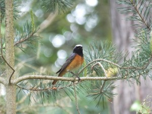 Redstart, Tearie 4 June 2014 (Martin Cook)
