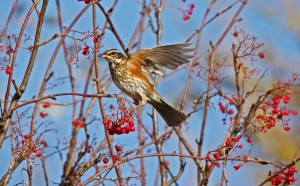 Redwing, Alves Nov 2013 (Tony Backx) 2