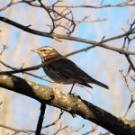 Redwing Elgin 1 Mar 2017 Lisa Stewart