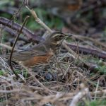 Redwing Elgin 30 Jan 2017 David Main