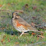 Redwing Elgin 9 Mar 2016 Gordon Biggs P