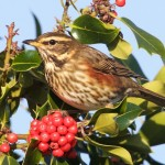 Redwing, Findhorn 10 Nov 2014 (Richard Somers Cocks)