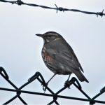 Redwing Kinloss 3 Apr 2017 Allan Lawrence