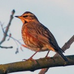 Redwing Nairn 13 Feb 2016 Jack Harrison