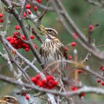 Redwing Rafford 23 Oct 2013 Gordon Biggs