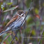 Reed Bunting, Kingston 11 Oct 2014 (David Devonport) 2