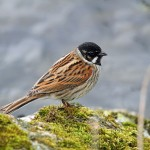 Reed Bunting, Loch Spynie 28 Apr 2015 (Gordon Biggs)