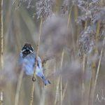 Reed Bunting Loch Spynie 3 Mar 2018 Nick Mellor 3