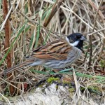 Reed Bunting, Loch Spynie 31 Mar 2016 (Gordon Biggs) 2 P