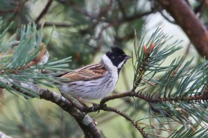 Reed Bunting, Loch Spynie 4 May 2014 (Richard Somers Cocks)