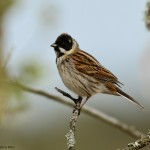Reed Bunting Pitgaveny 15 Apr 2014 David Main