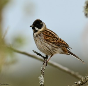 Reed Bunting, Pitgaveny 15 Apr 2014 (David Main)
