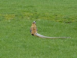 Reeves's Pheasant, Kirkmichael 5 May 2014 (Bob Proctor)