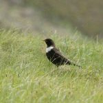Ring Ouzel Glen Avon 26 June 2017 Martin Cook