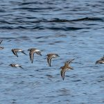 Ringed Plover Dunlin Lossie Estuary 1 Sep 2017 Tony Backx