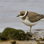 Ringed Plover, Lossie estuary 20 Aug 2014 (David Main)