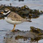 Ringed Plover Lossie estuary 22 Aug 2014 David Main