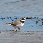 Ringed Plover Lossie estuary 8 Apr 2014 Gordon Biggs