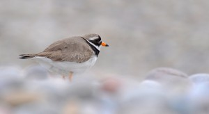 Ringed Plover, Lossiemouth 12 June 2014 (Margaret Sharpe)
