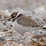 Ringed Plover juvenile Lossiemouth east beach 20 Aug 2013 Margaret Sharpe