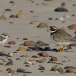 Ringed Plover with chick Findhorn 14 June 2013 Richard Somers Cocks