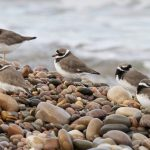 Ringed Plovers Findhorn 7 Nov 2017 Richard Somers Cocks