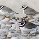 Ringed Plovers Findhorn 9 Apr 2013 Richard Somers Cocks