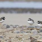 Ringed Plovers Findhorn Bay 3 Mar 2013 Richard Somers Cocks copy