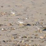 Ringed Plovers Findhorn beach 8 Oct 2016 Lisa Stewart