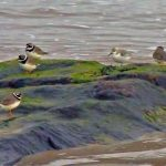 Ringed Plovers Hopeman 24 Jan 2017 Jack Harrison