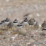 Ringed Plovers and Dunlin Findhorn 24 May 2015 Richard Somers Cocks