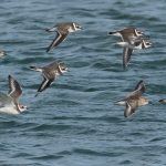 Ringed Plovers and Dunlin Findhorn 26 Sep 2016 Mike Crutch