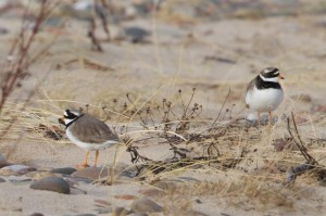 Ringed Plovers, mouth of Findhorn Bay 14 Feb 2014 (Richard Somers Cocks)
