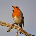 Robin, Lossiemouth 12 Feb 2015 (Gordon Biggs)