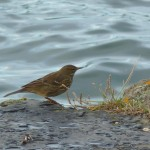 Rock Pipit 2 Hopeman 21 Oct 2013 Bob Proctor