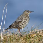 Rock Pipit, Burghead 2 Apr 2015 (Gordon Biggs)