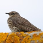 Rock Pipit Lossiemouth 11 June 2014 Gordon Biggs