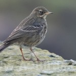 Rock Pipit, Lossiemouth 13 Feb 2015 (Mike Crutch)