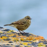 Rock Pipit Lossiemouth 14 Mar 2014 Gordon Biggs