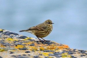 Rock Pipit, Lossiemouth 14 Mar 2014 (Gordon Biggs)