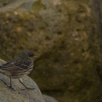 Rock Pipit, Lossiemouth 15 Jan 2015 (David Main)
