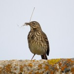 Rock Pipit Lossiemouth 24 Apr 2014 Gordon Biggs